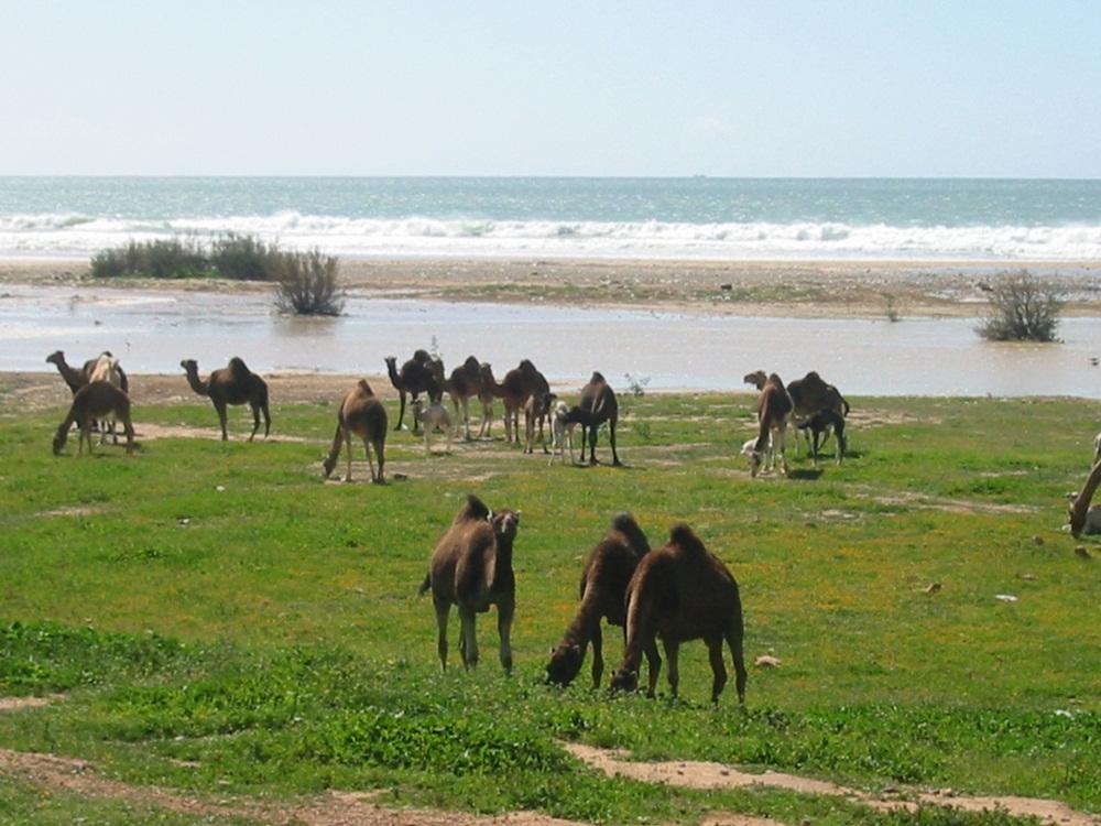 Meer Kamele